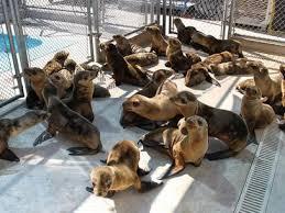 Hambrientos cachorros de leones marinos llegan en masa a California