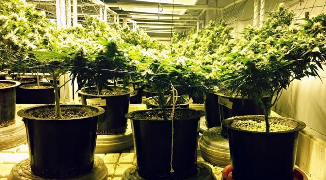 Los efectos medicinales del Cannabis